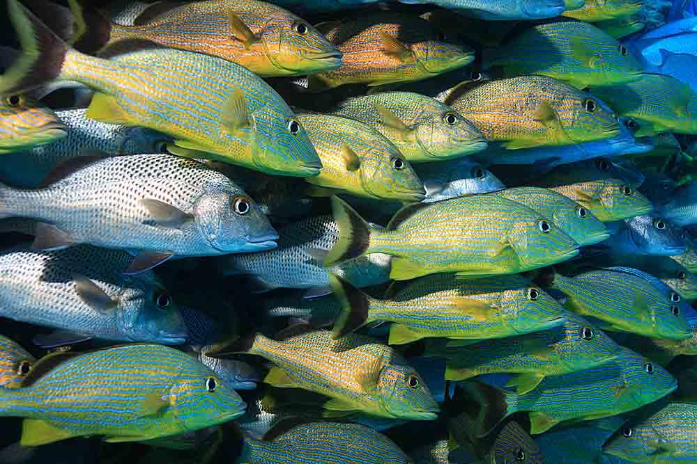 school of grunt fish