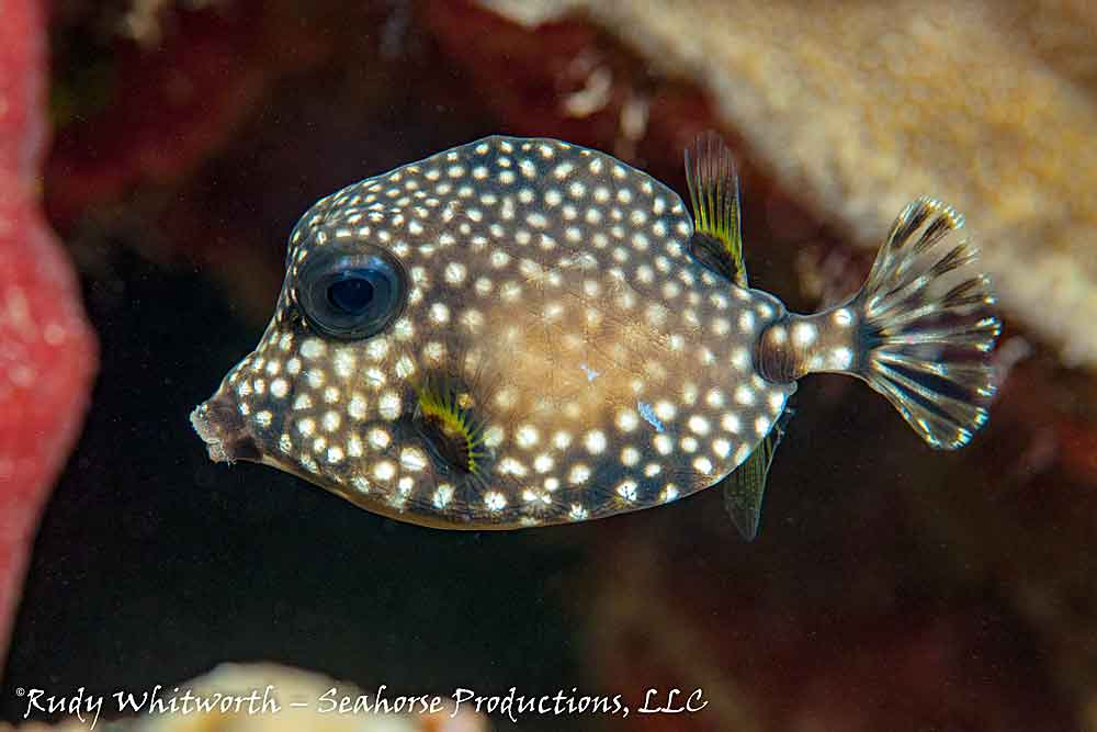 juv-spotted-trunkfish