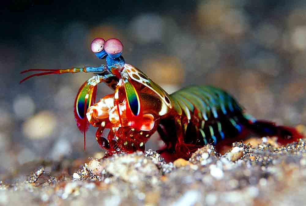 Mantis Shrimp amidst coral rubble